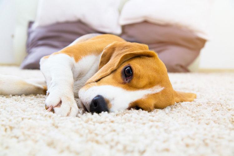Carpet Cleaning Pet Danders